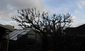 after apple tree winter pruning by the landgirl