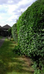 AFTER: Hedge cutting and tidying by The Landgirl