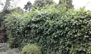 BEFORE: Hedge cutting and tidying by The Landgirl